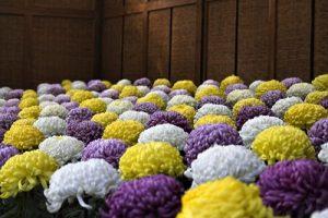 沢山の菊の写真