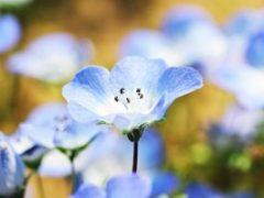 青いネモフィラ