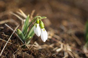 スノードロップの花