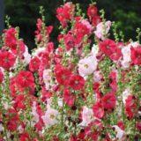 赤と白の葵
