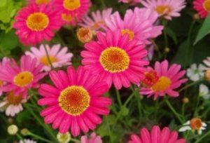 濃いピンクのマーガレット