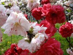 赤と白の桃