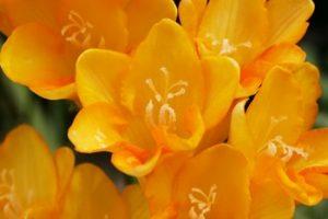 オレンジのフリージア