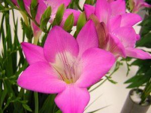 ピンクのフリージア