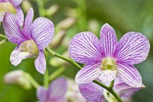紫のデンドロビウム