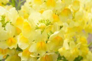 黄色いリナリア