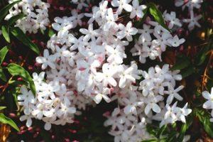 ジャスミンの複数の花