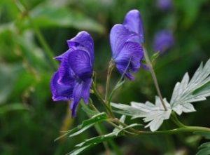 青っぽいトリカブトの花