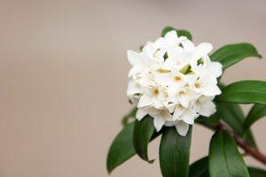沈丁花の白い花