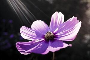 紫のコスモス