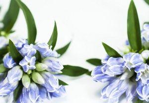 青いリンドウ