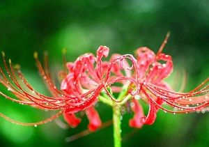 水滴のついた赤い彼岸花