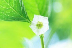 鬼灯の白い花