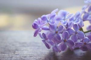 紫のライラック