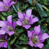 紫色のリンドウ